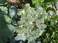 BROCCOLI HOW TO GROW and Plant