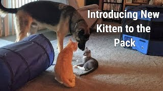 Introducing New Kitten to the Pack