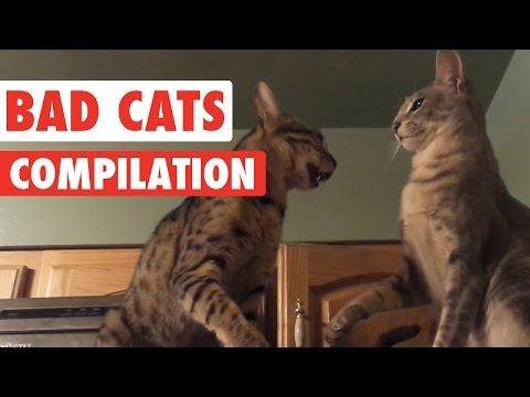 自由奔放!いたずら好きな悪い猫たちコンピレーション