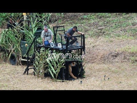 Lihat Nih, Panglima TNI Lepas Harimau Sumatera
