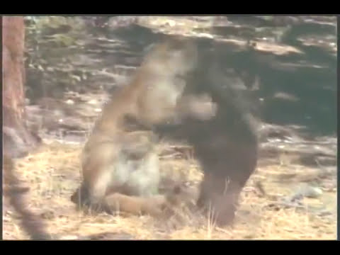 Black Bear VS Mountain Lion | Part 1