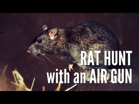 Hunting Rats with Gamo Air Rifle   Cluckwork Orange