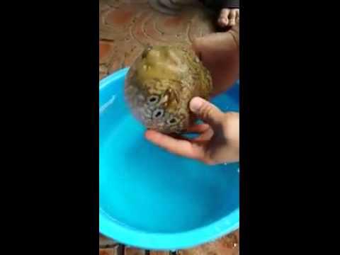 J--- Duniya Ki Sab Se Aajuba Fish. . . . Swapan Barai ,moyna, East Medinipur, W.b video