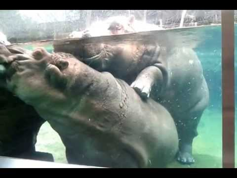 San Diego Zoo Hippos Mating - YouTube