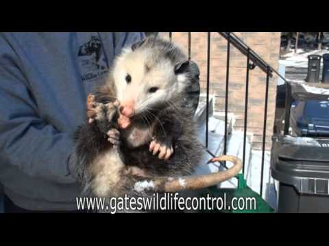 Possum :: VideoLike