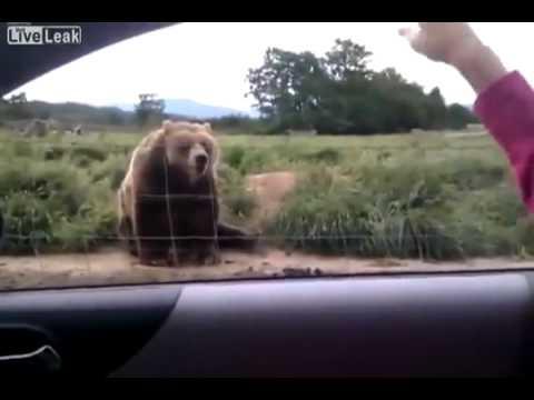 Kulturalny Zabawny Niedźwiedź Miś Funny Bear