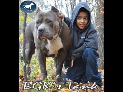 Biggest Blue XL Bully pitbull, BGK's Tank, 2 years, 157 lbs. vet scale proof