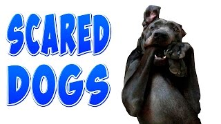 Funny Scared Dogs - Funny Dogs Compilation
