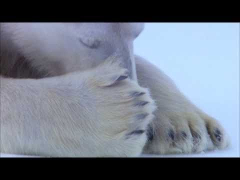 Funny Animals-Polar Bear Flirts with Mate - Polar Bear Spy on the Ice - BBC One