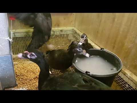 Индоутки, яйца, гнезда, веселимся.