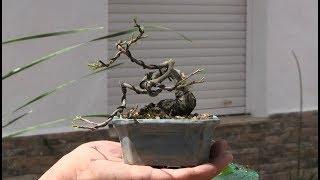 Cómo hacer mini bonsai mediante alambrado - 5 años más tarde