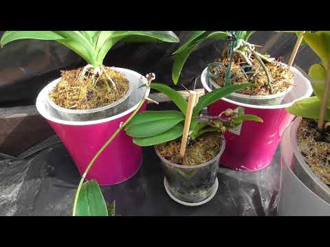 Как заставить цвести орхидеи?Лучший способ. Отличный результат