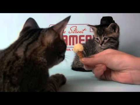 Kittens Wearing Top Hats Kitten Wearing a Tiny Hat Eats