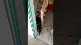 Chó becgie thông Minh nhất việt nam