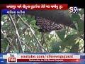 Maliya hatina : અમરાપુર ગામે ચીકુના વૂક્ષ ઉપર ઝેરી મધમાખીનું જૂંડ