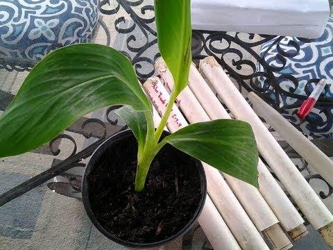 Potting Musa Ice Cream Banana Tree's & PVC Slow Release Feeders