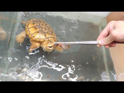 물리면 손가락도 자른다는 거북이..  그 살벌한 미꾸라지식사