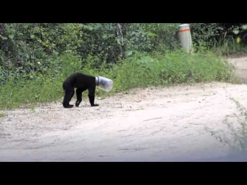 Jarhead bear cub rescued.mov Video