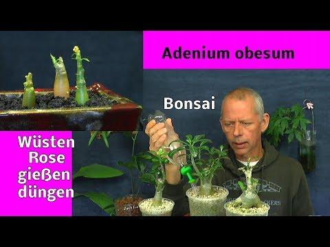 Adenium obesum Bonsai Spezial. Bonsaierde für die Wüstenrosen. Einpflanzen, Düngen, Gießen