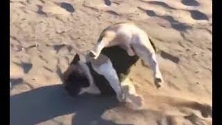 Những chú chó hài hước nhất thế giới -  những chú chó bá đạo nhất hành tinh