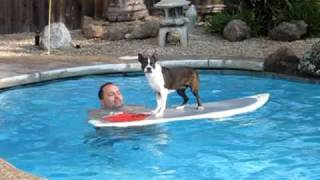 Boston Terrier learning how to surf in the swimming pool
