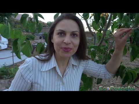 Way to Harvest Mulberries Without Killing Ants. Pakistan Mulberry Taste Review (Veganic Gardening)