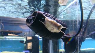Have you had a boxfish/cowfish bomb your tank?