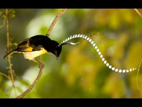 King-of-saxony Bird-of-paradise video