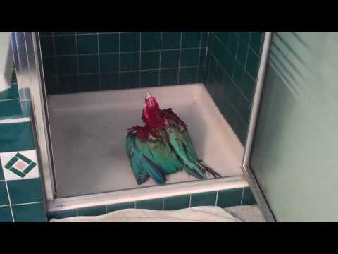 havafordwnachevy - Macaw - can't wait to shower