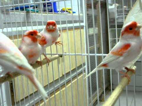 canarios machos rojos mosaico