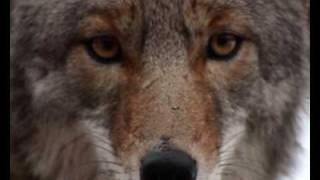 Native American -The Coyote-Sacred Spirit