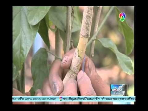 สารคดีเกษตร_เทคนิคการเพาะขยายพันธุ์ผักหวานป่าด้�