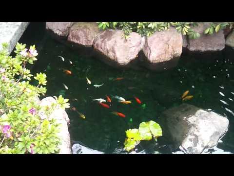 Estanque de peces koi Estanques para peces koi