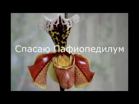 Спасаю Орхидею Пафиопедилум -Венерин Башмачок!