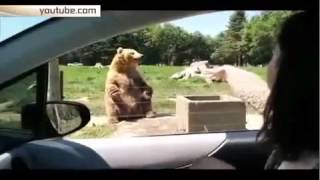 Медведь демонстрирует чудеса голкиперского искусства