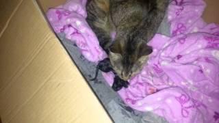 Cat in labor