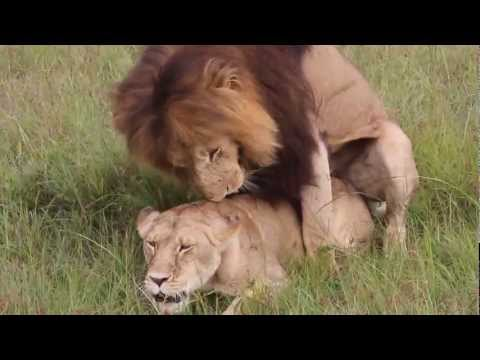 Lion Having Sex,masai Mara Aslan Sevişirken ,kenya - Masai Mara,aslan Sex video