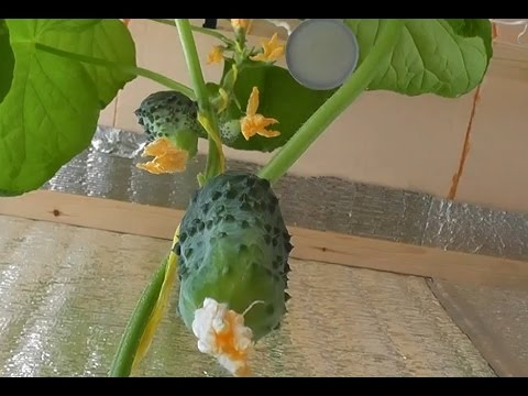 Выращивание огурцов на балконе – посев и уход (советы к.с.х. наук)