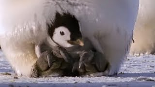 Emperor penguins | The Greatest Wildlife Show on Earth | BBC Earth