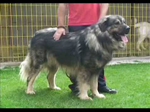 Macedonian Shepherd Dog Sharplaninec - Шарпланинец (1/2)