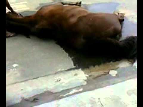 Égua ferida na rua em Guarulhos