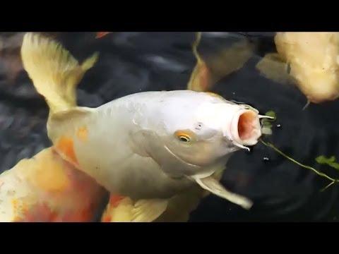 Золотые рыбки в личном доме. жизнь в Америке, в США.
