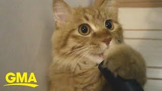 Cat is obsessed with the vacuum | GMA Digital