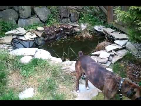 700 gallon koi shubunkin homemade fish pond in backyard for Homemade koi pond