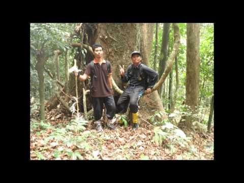 Kayu Terbesar di Hutan Tane' Olen Desa Wisata Setulang Malinau