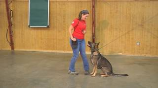 "Male German Shepherd For Sale ""Thor"" Obedience Trick Protection Trained Awesome!"