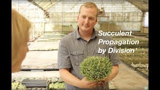 Succulent Propagation by Division (Offsets)