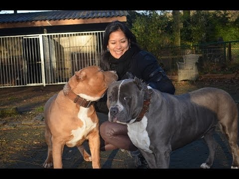 American bully pitbull xxl Magnum 8 months on video !!