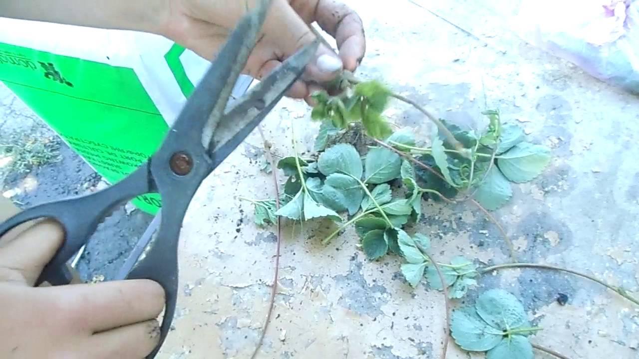 Выращивание усов на рассаду 720