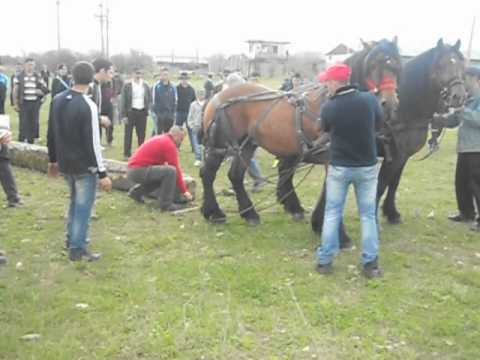 Caii lui Gelu 1